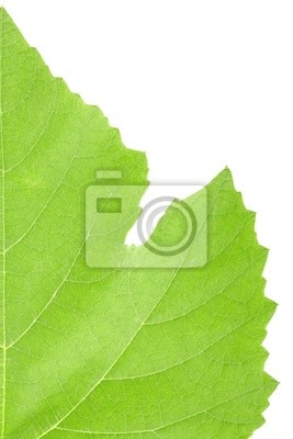 Wall mural Grape leaf macro isolated on white background