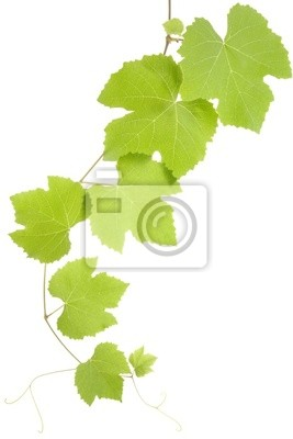 Wall mural grape leaves