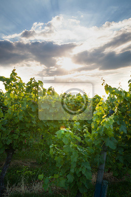 Grape vine and sunbeams behind clouds