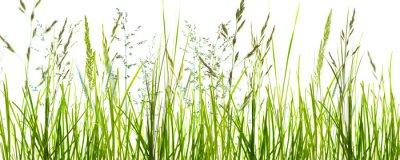 Wall mural gräser, grashalme, wiese vor weißem hintergrund
