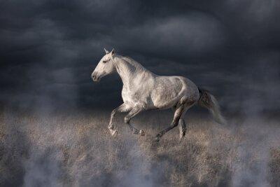Wall mural Gray Lusitanian horse run