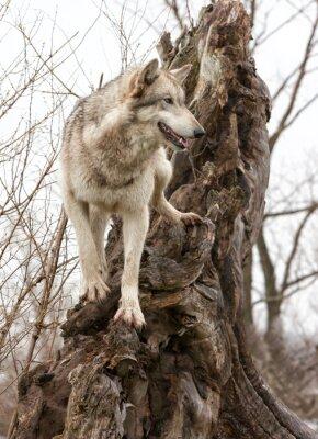 Gray Wolf on a Tree Stump