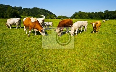 Wall mural Grazing cows