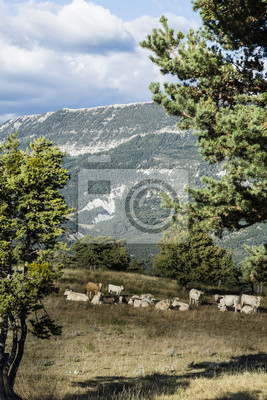 Grazing cows on high-mountain pasture