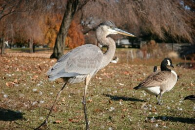 great blue heron in the fall