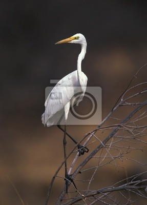 Wall mural Great white egret