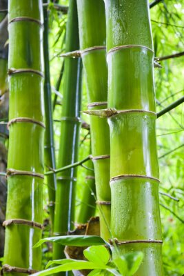 Wall mural Green bamboo nature backgrounds