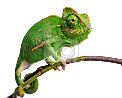 Wall mural green chameleon - Chamaeleo calyptratus