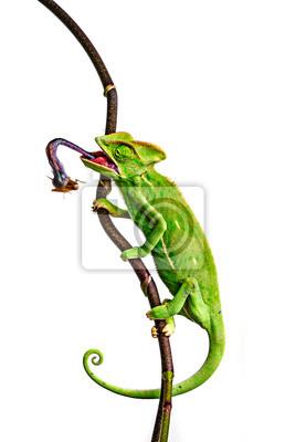 Wall mural green chameleon - Chamaeleo calyptratus hunting