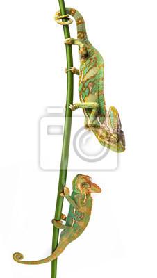 green chameleon - Chamaeleo calyptratus - male