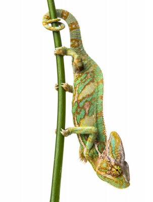 green chameleon - Chamaeleo calyptratus - male on a branch