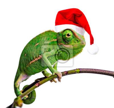 green chameleon - Chamaeleo calyptratus with funny santa cap