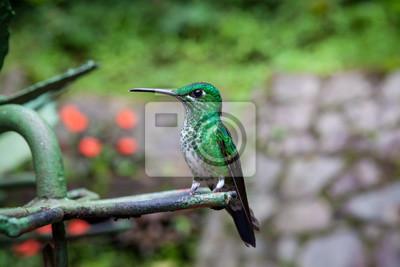 Green-crowned brilliant hummingbird sitting