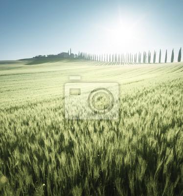 Green field of wheat and farm house, Tuscany, Italy