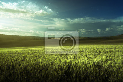 Green field of wheat in Tuscany, Italy