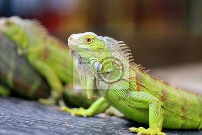 Wall mural green lizard iguana