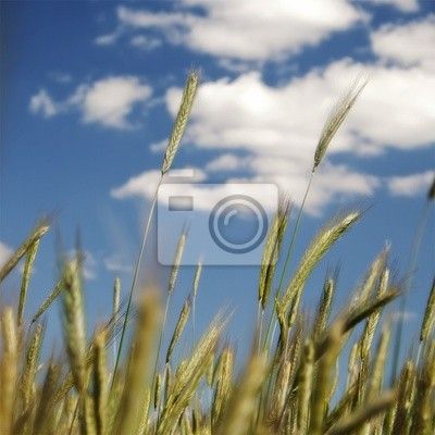green wheat on blue sky and cloud