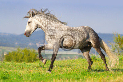Grey andalusian stallion run on pasture against blue hillls