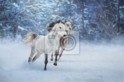 Grey arabian horses run gallop in snow