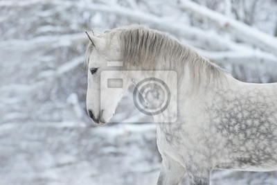 Grey horse portrait at winter day