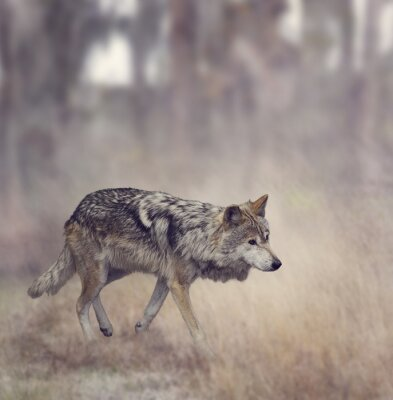 Wall mural Grey Wolf (Canis lupus)