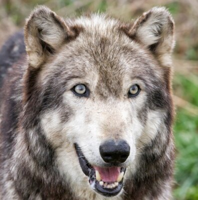 Grey Wolf Head shot