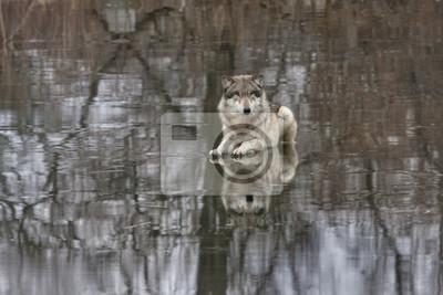 Grey Wolf Laying on Frozen Lake