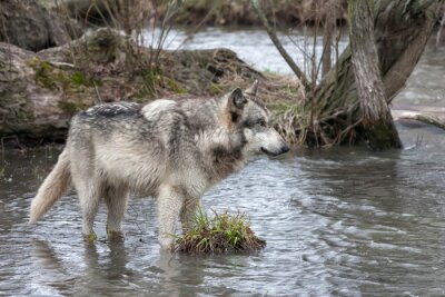 Grey Wolf Standing in a Lake