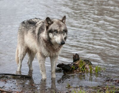 Wall mural Grey Wolf Wading in a Lake