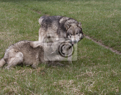 Wall mural Grey Wolves Dominant and Submissive