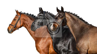 Group of horse in bridle close up portrait on white background