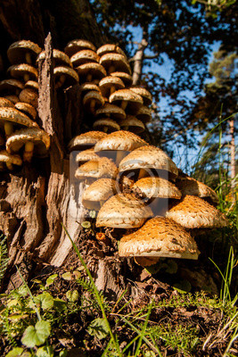 Group of many Armillaria fungus in a tree stump.
