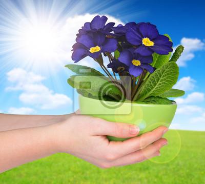 Hand holding Primrose in pot