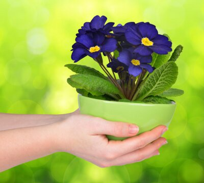 Hand holding Primrose in pot on green natural blurred background