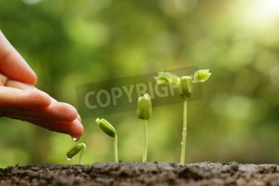 Wall mural hand nurturing and watering young baby plants growing in germination sequence on fertile soil with natural green background