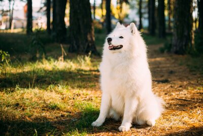 Wall mural Happy White Samoyed Dog Outdoor in Forest