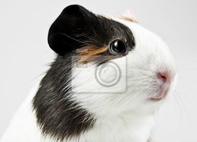 head of guinea pig