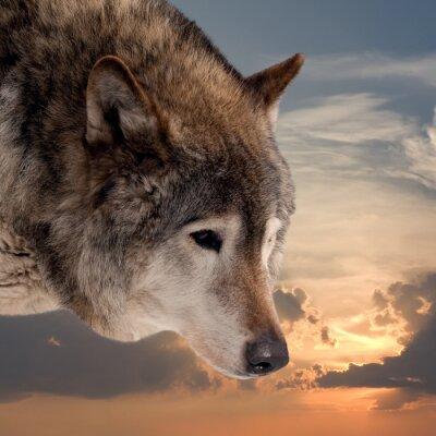Wall mural Head of wolf  against sunset sky
