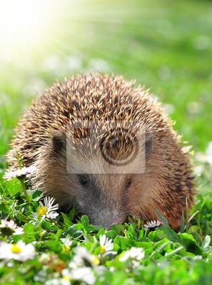 Wall mural Hedgehog