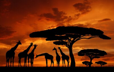 Wall mural herd of giraffes in the setting sun