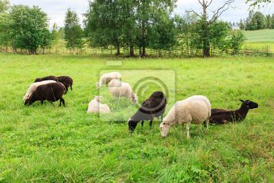 Herd of sheeps in the meadow