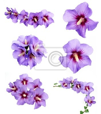 Wall mural hibiscus flowers collection