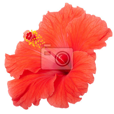Wall mural Hibiscus isolated