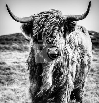 Wall mural Highland Cattle Black & White
