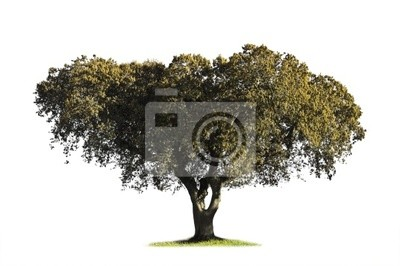 Holm oak (Quercus ilex) in the blooming season