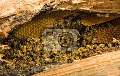 Wall mural Honey bees with comb inside fallen tree