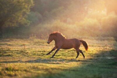 Horse galloping in sunlightwith dust at summer pasture