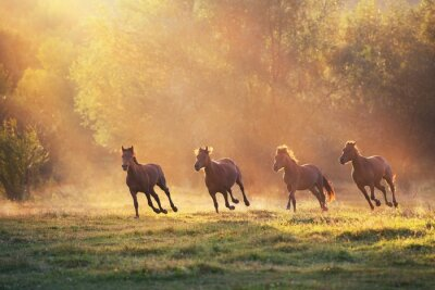 Horse herd galloping in sunlightwith dust at summer pasture