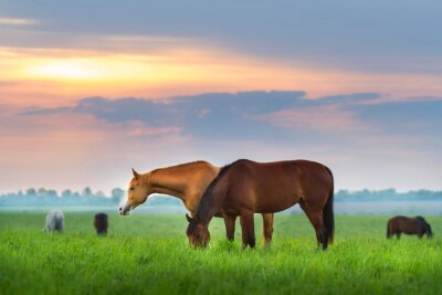 Wall mural Horse herd on pasture at sunrize