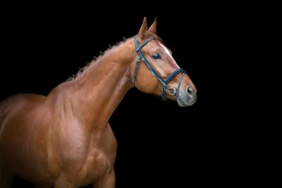Horse portrait in bridle on black background